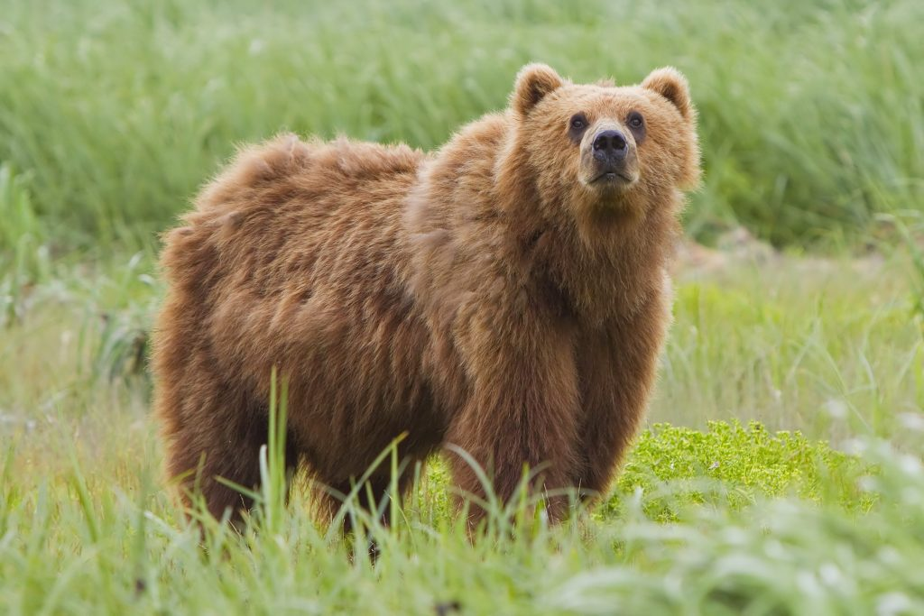 引用 : https://en.wikipedia.org/wiki/Kodiak_bear