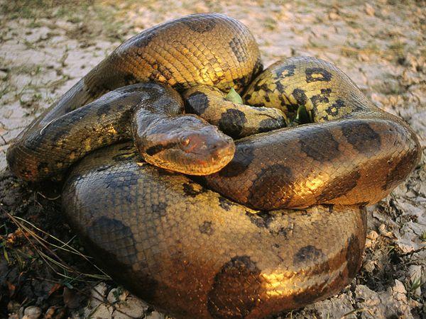 引用 : http://maharblogs.blogspot.jp/2011/07/green-anaconda-snake-eunectes-murinus.html