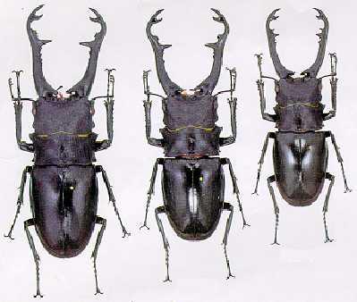 引用 : http://www.beetlebreeding.ch/archiv/lucanidae_pz.htm