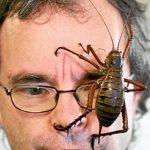 最大10cm!? 世界一大きい昆虫 ジャイアントウェタ