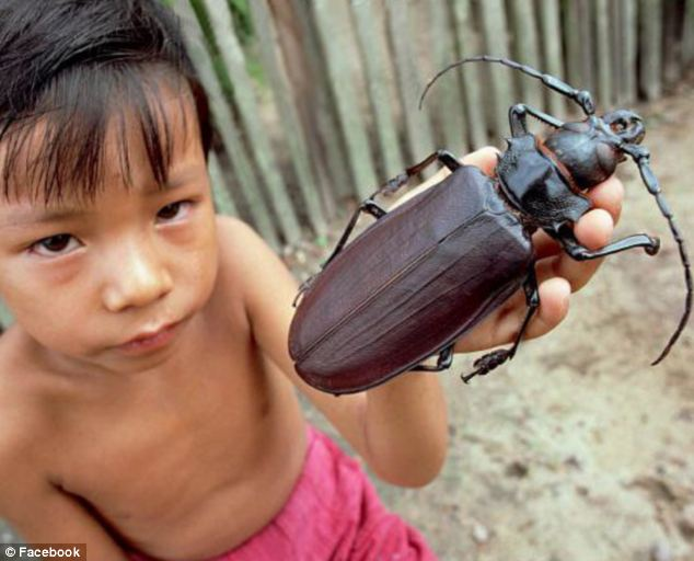 引用 : http://www.dailymail.co.uk/sciencetech/article-2373811/Worlds-biggest-beetle-Titanus-Giganteus-grows-seven-inches-long.html