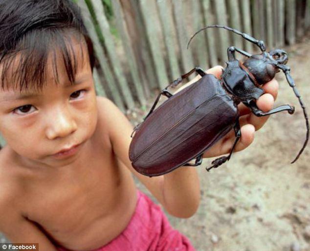 引用 : http://www.dailymail.co.uk/sciencetech/article-2373811/Worlds-biggest-beetle-Titanus-Giganteus-grows-seven-inches-long.html
