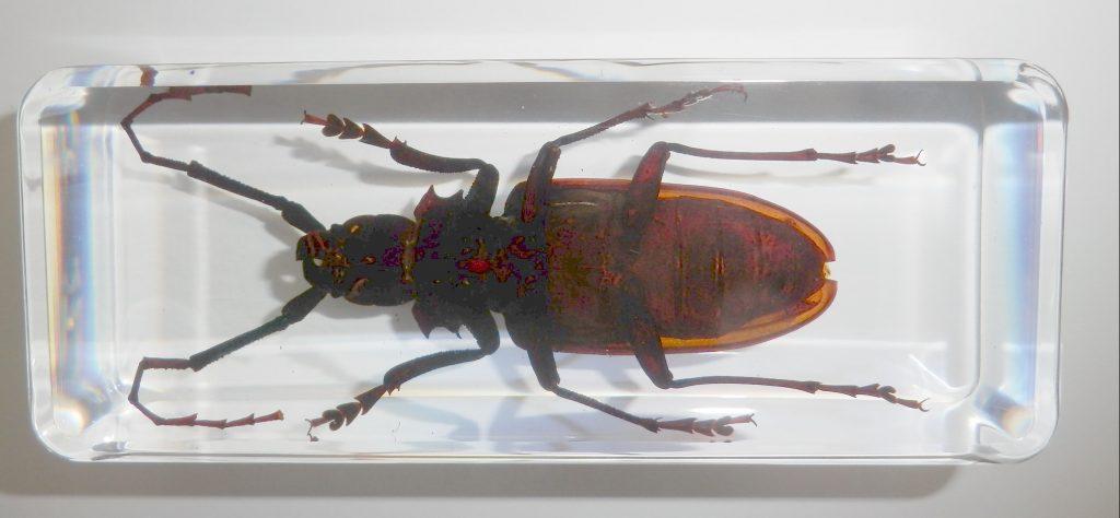 引用 : http://www.ebay.com/itm/Titan-Longhorn-Beetle-Titanus-giganteus-Large-Insect-Specimen-Clear-/381253919684