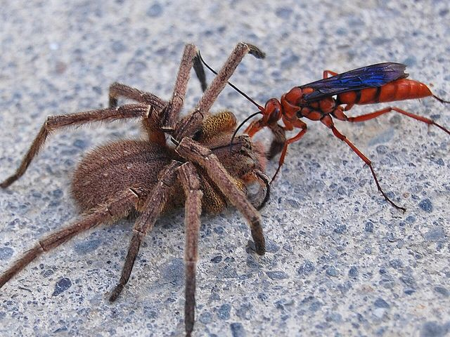引用 : https://au.pinterest.com/explore/tarantula-hawk/