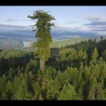 高さ115m!? 世界一高い木 ハイペリオン