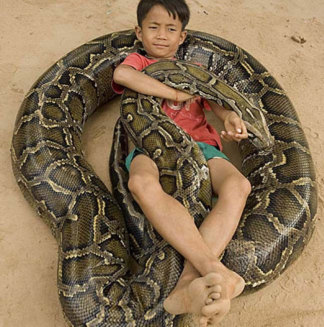 引用 : http://iloveuselessknowledge.com/2015/07/25/the-python-reticulatus-are-an-ancient-old-species-of-python-known-to-be-currently-the-largest-in-the-snake-animal-kingdom/