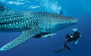引用 : http://www.telegraph.co.uk/travel/destinations/asia/maldives/articles/A-whale-shark-encounter-in-the-Maldives/