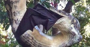引用 : http://biglawnewsline.com/2015/07/large-python-devours-giant-bat-in-australia.html