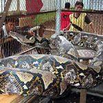 全長990cm!? 世界一大きい蛇 アミメニシキヘビ
