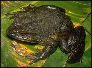 引用 : http://froghopperglen.blogspot.jp/2011/08/fabulous-frog-facts-about-goliath-frog.html