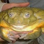 最長80cm!? 世界一大きいカエル ゴリアスガエル