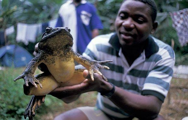 引用 : http://www.newsnscience.com/science-news/the-largest-frog-in-the-world.php