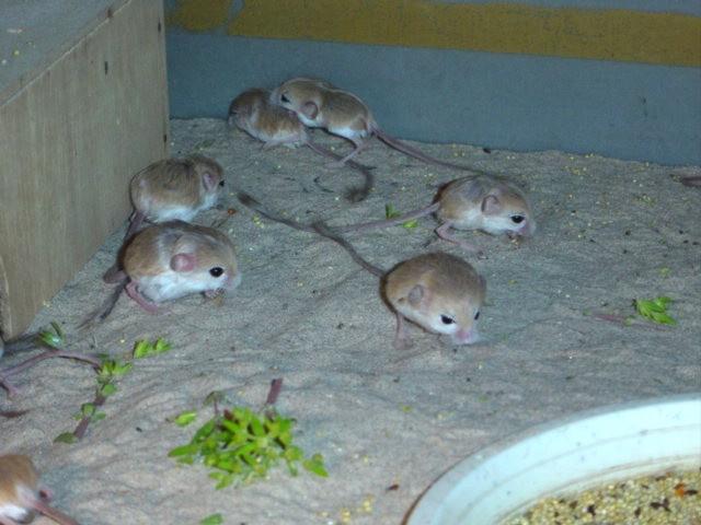 世界一小さいネズミ3 バルチスタンコミミトビネズミ