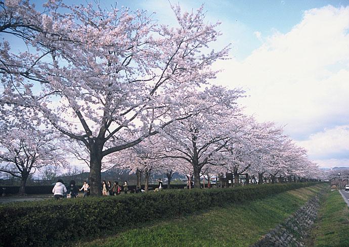 桜つづみ公園1