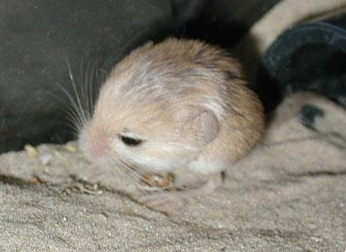 世界最小のネズミ4