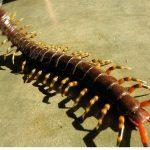 最長40cm!? 世界一大きいムカデ ペルビアンジャイアントオオムカデ