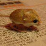 体長3.7cm!? 世界一小さいネズミとは? バルチスタンコミミトビネズミ
