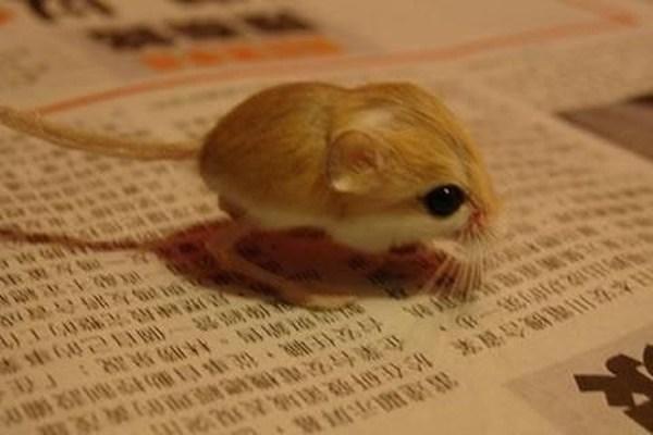 世界一小さいネズミ1