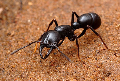 引用 : https://myrmecos.wordpress.com/2008/10/08/ants-echo-across-continents/