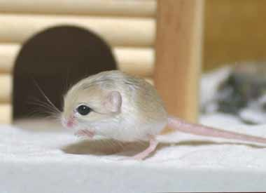 世界最小のネズミ2