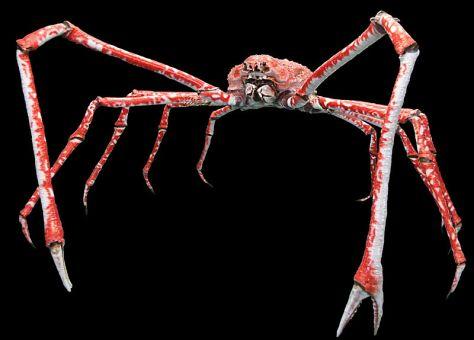 引用 : https://shizuokagourmet.com/crab-species-3-japanese-spider-crabtakaashigani/