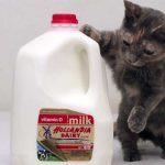体長13cm!? 世界一小さい猫とは? ギネス記録