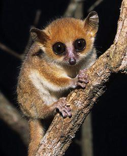 世界最小の猿2