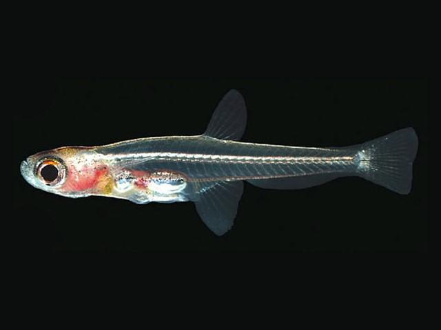 世界最小の魚 ドワーフフェアリーミノー2