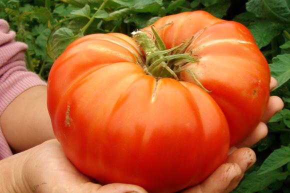 世界一甘いトマト2